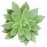 Echeveria Ramillete Succulents, Cactus and Tropical Plants at Crazy Critters