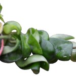 Hoya 'Hindu Rope' Succulents, Cactus and Tropical Plants at Crazy Critters