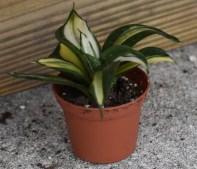 2 inch succulent