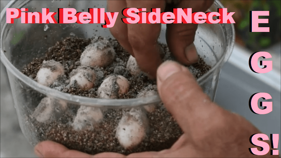 Pink Belly Sidneck Eggs