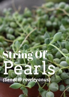 String Of Pearl Plant