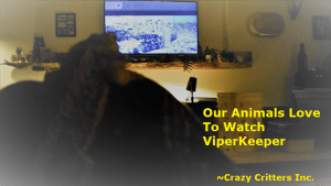 Our animals hang out with us all the time. They love animal education television shows, Here in this video, they are watching https://www.youtube.com/viperkeeper. I love that this dragon pays attention when he talks about UVB lights,