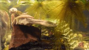 Snake-Necked Turtle (Chelodina longicollis) at Crazy Critters Inc.