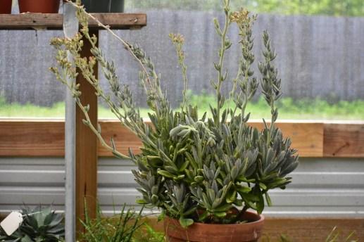 Mature Fuzzy Kalanchoe Succulent