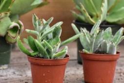Fuzzy Kalanchoe Succulent Plant