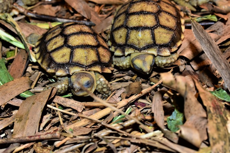 Two Tortoises from One Egg! | Crazy Plants Crazy Critters