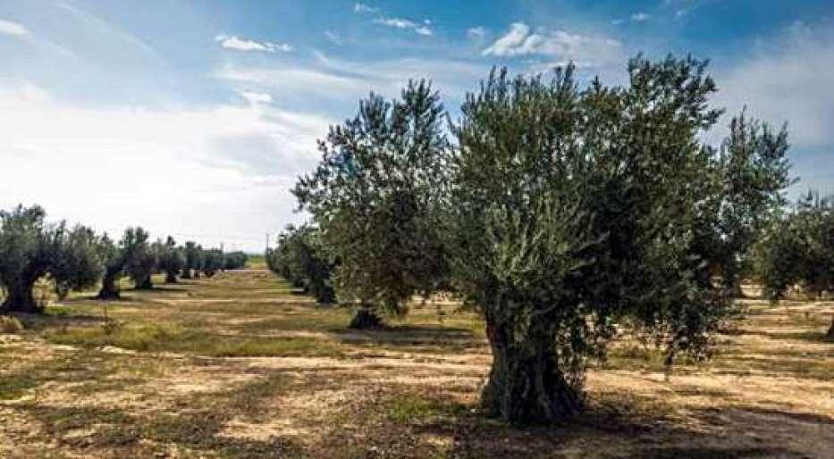O Azeite de Oliva Extra Virgem Quirós é feito a partir de frutos precoces.