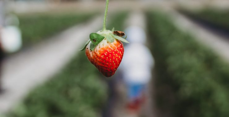WHY YOU SHOULD GO STRAWBERRY PICKING WITH KIDS