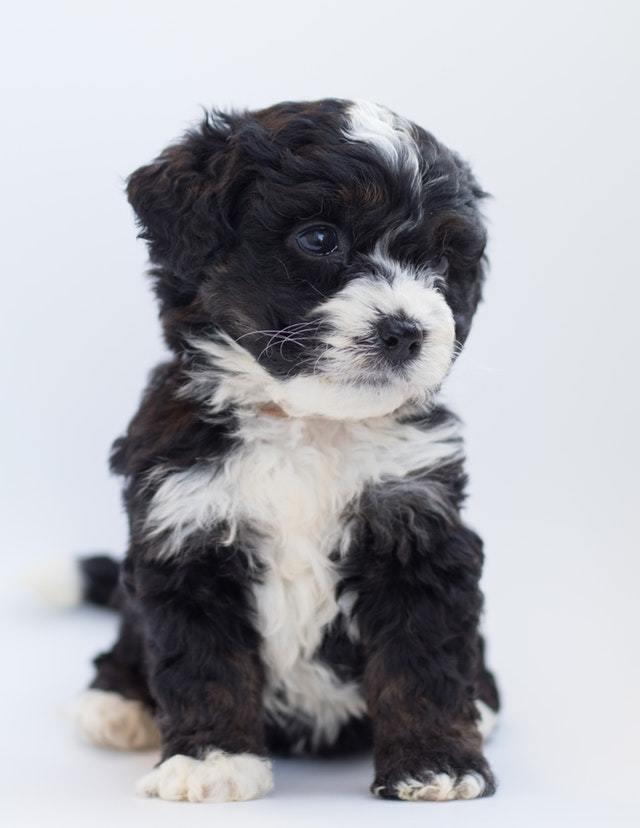 Rottweiler Poodle Puppies : rottweiler, poodle, puppies, Rottweiler, Poodle, Breed:, Rottle, Guide