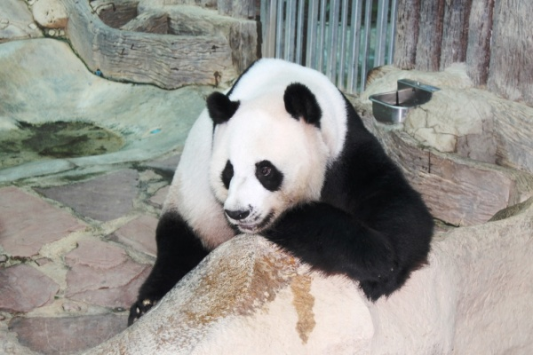 """Yes, I'm a panda and I'm not moving anywhere!"""