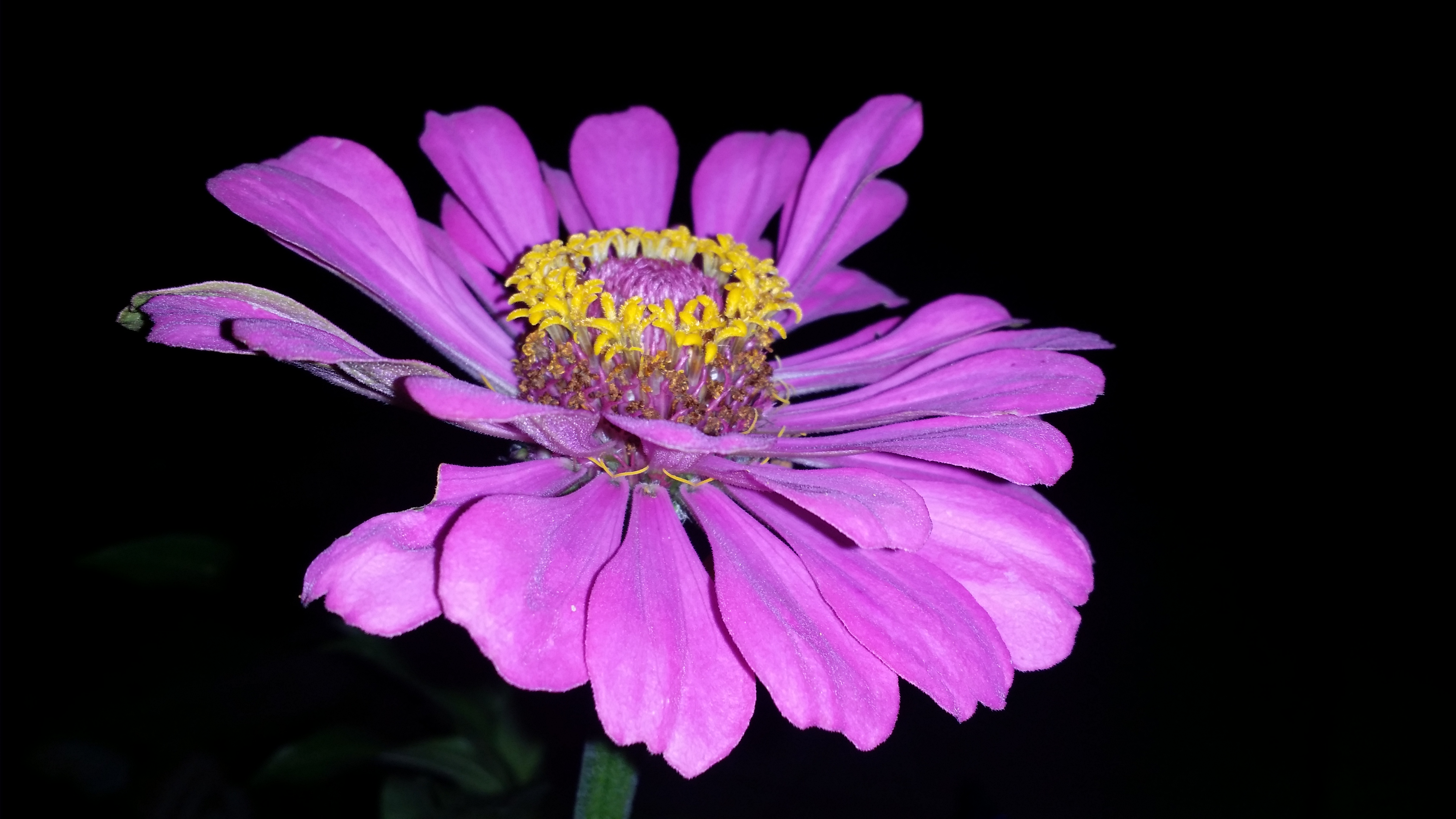 Purple Zinnia With Tiny Yellow Flowers In Middle Crlin