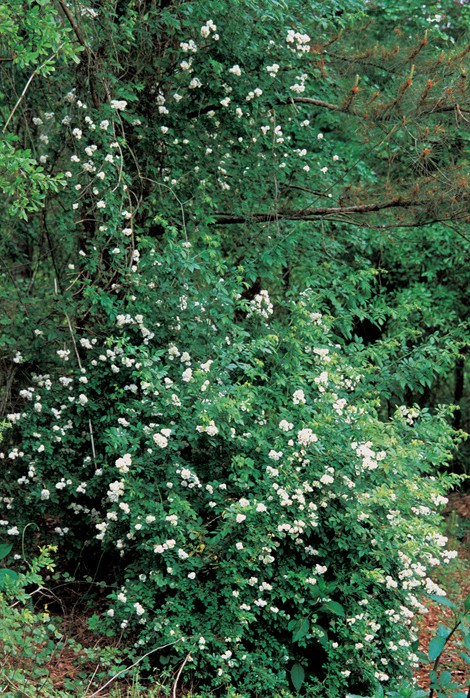 Picture of a multiflora rose bush in flower.
