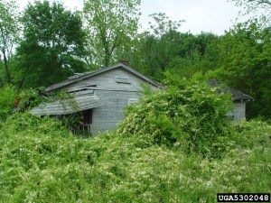 Picture of Japanese knotweed climbing on an old barn