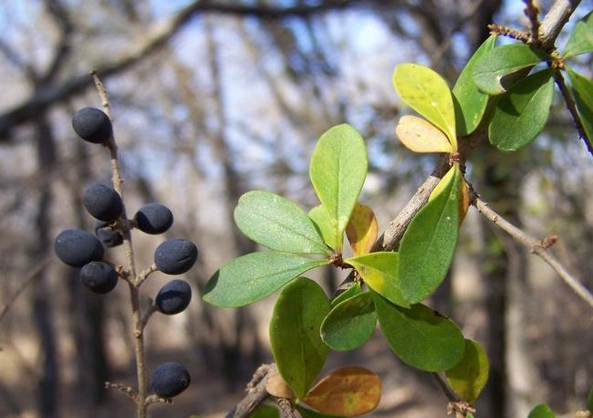 Picture of European privet branch and fruit.
