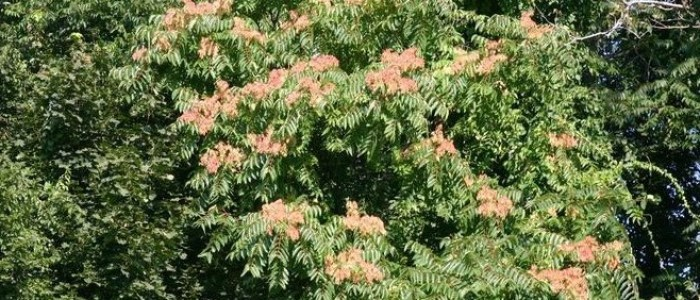 Picture of mature tree of heaven in fruit