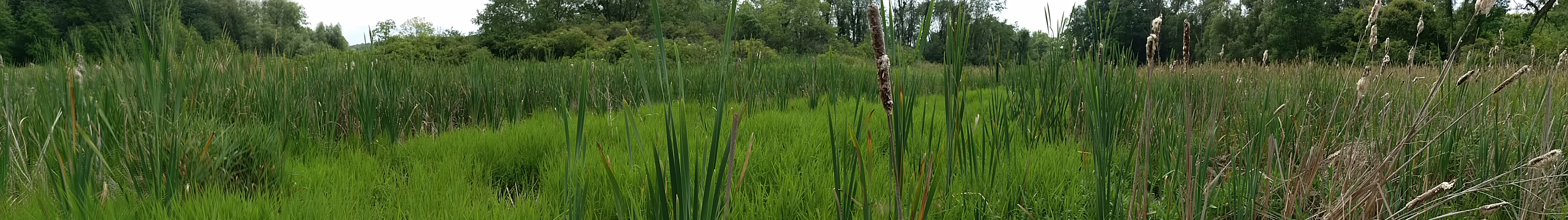Picture of a sedge meadow with invading cattails.