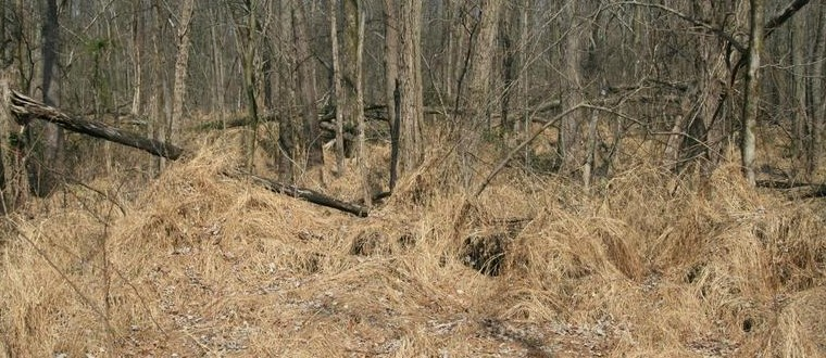 Picture of heavy thatch of dead stiltgrass.
