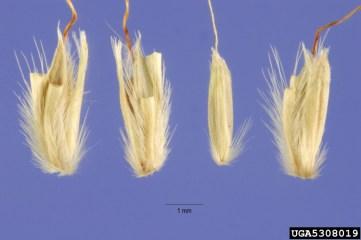 Microstegium seeds _Hurst
