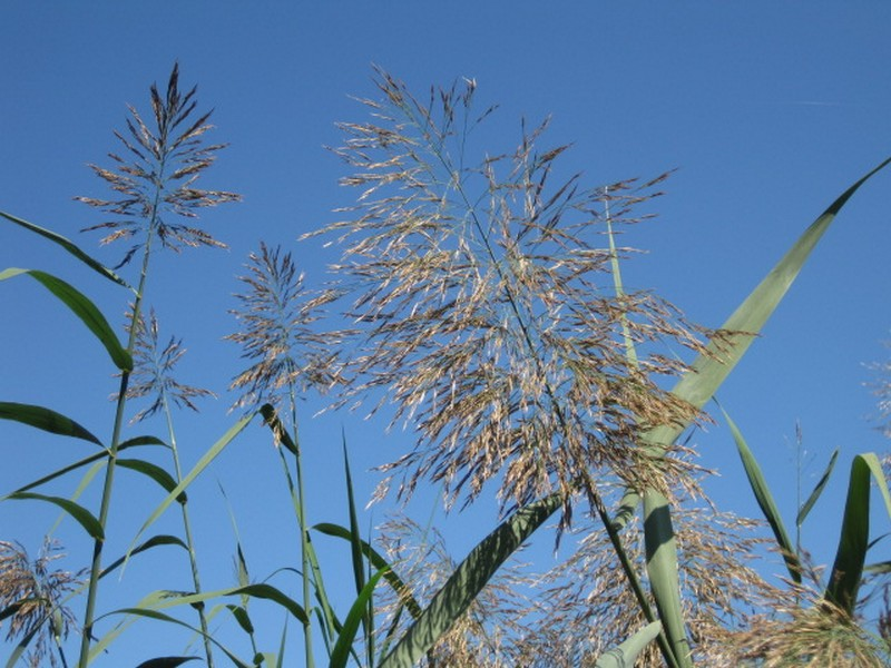 Picture of phragmites in flower.