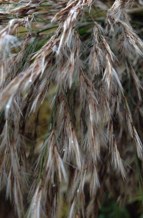 Picture of phragmites seed head.