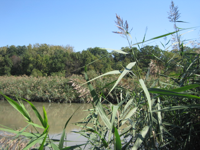 Picture of a phragmites infestation on a river bank.