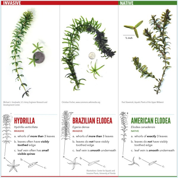 Hydrilla Identification Crooked River Cooperative Weed