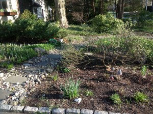 4/17 The Solomon seal is now visible on both sides of the path (behind the Daphne. A very small hydrangea in front of the mushrooms appears to have made it through the winter