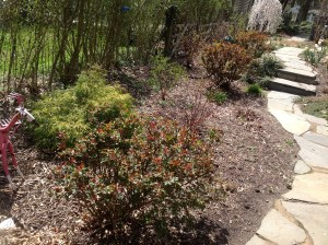 4/14. the rose bushes have leafed out, nothing on the red twig dogwood in the middle yet.  The lilac has buds