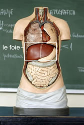 Cirrhose Du Foie+traitement Naturel : cirrhose, foie+traitement, naturel, Hépatite, Causes,, Symptômes, Traitements, Creapharma
