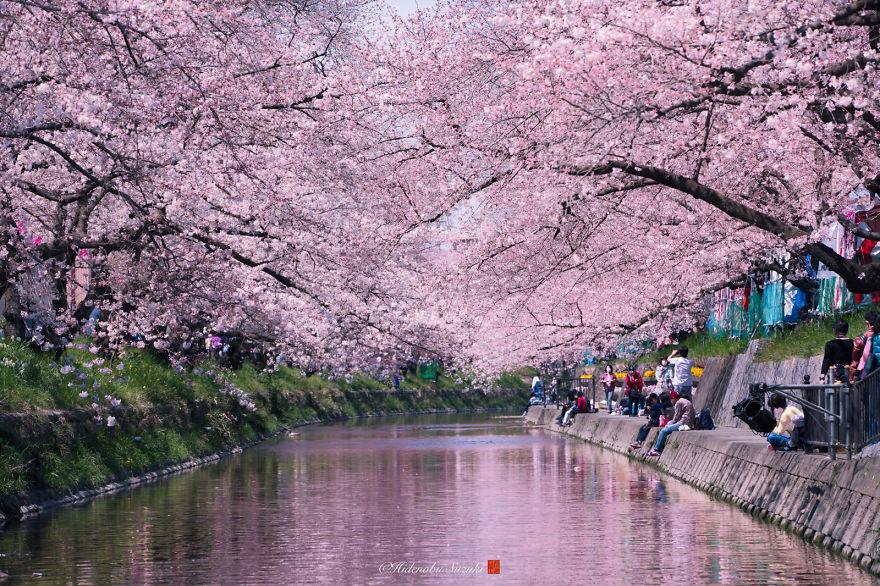 Cette photographe rend hommage à la sublime floraison des cerisiers au Japon