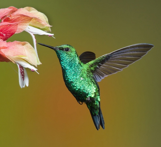 hummingbird diagram of color model view controller sequence illustrator experiment making a create i used this photograph as guide for the shape body wings eye and beak s dynamic symbols feature to