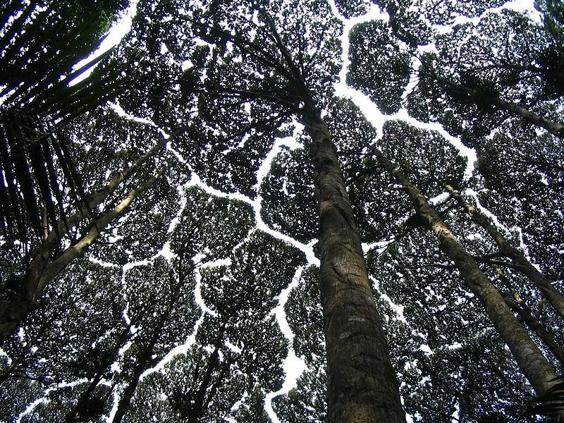 crownshyness