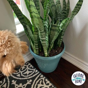 Snake Plants – My New House Plant Obsession!