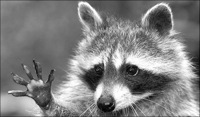 Rocky the Raccoon was a Robber
