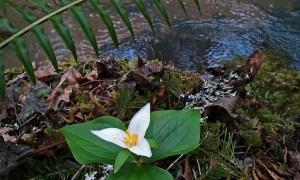 trillium by the creek
