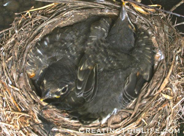 baby-birds-in-nest