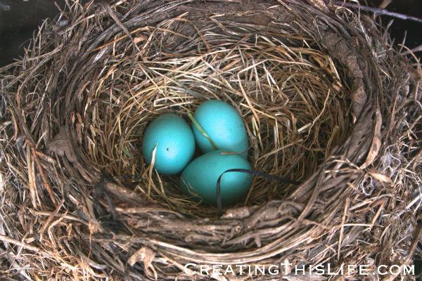 three-robin-eggs-in-nest