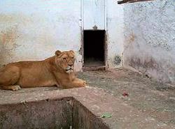 Lea em seu cativeiro no zoológico italiano. Foto Kalahri Raptor Centre.