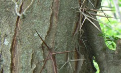 Honey Locust Thorns, photo credit: MONGO