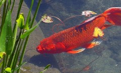 Red Goldfish in a pond: WikiCommons