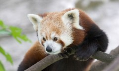 Red Panda, Photo credit: schani