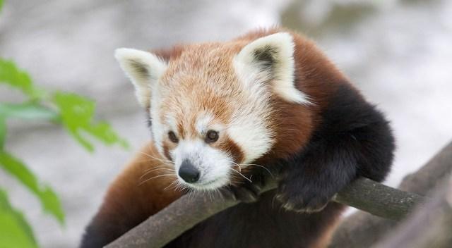 Red Panda, Photo credit: schani