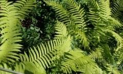 Lacy Ferns