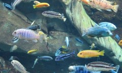 Lake Malawi fish