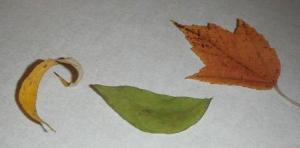 CS4K-Curled-Leaves-1
