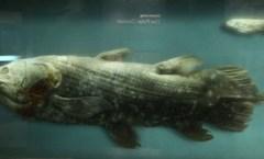 Coelacanth, Smithsonian, Wikimedia