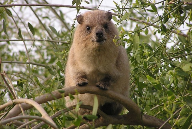 Hyrax in an Israeli tree, photo credit: Yael & Amihay