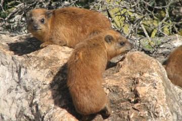 Two Hyraxes, photo credit: Arikk