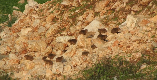Hyrax colony on rocks, photo credit: Arikk