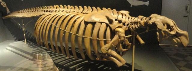 CS4K-Steller-Sea-Cow-Skeleton-